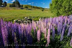 flowers of new zealand