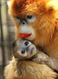 golden monkey pictures