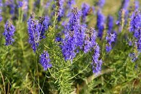 hyssop picture
