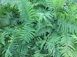 names of ferns