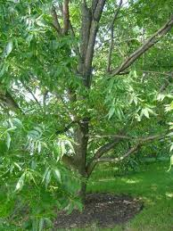 pecans tree