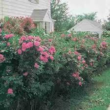 rugosa rose bush