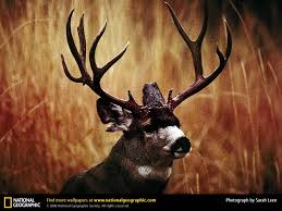mule deer wallpaper