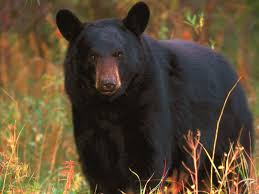 picture of a black bear