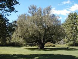 black willow trees