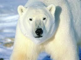 polar bear ecosystem