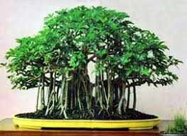 schefflera arboricola bonsai