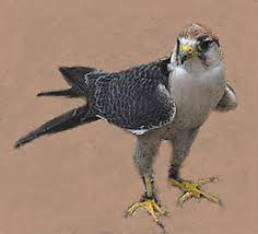 pictures of falcon birds