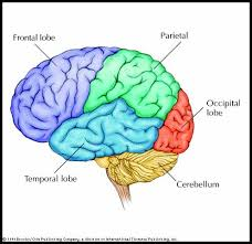cerebral cortex structure