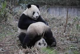 panda breeding
