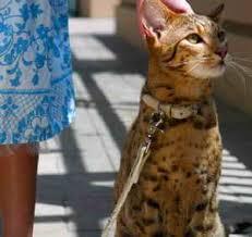 leopard cat pet