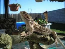 reptiles dragons