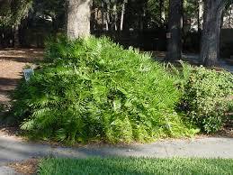 coontie plant