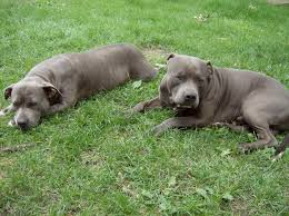 bloodline pitbull