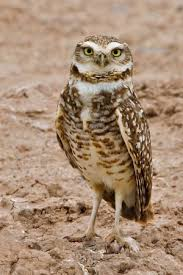 burrowing owl diet