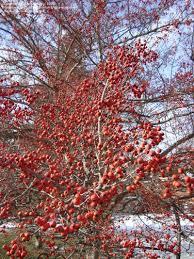 winter king green hawthorn