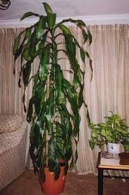 chinese money tree plant