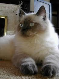 cat ragdolls