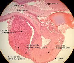 hypophysis gland