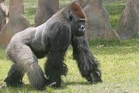 picture of silverback gorilla