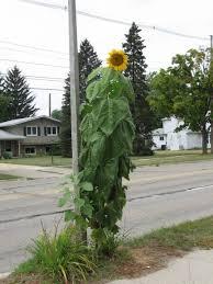 sunflower gardening