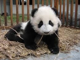 cute panda photos