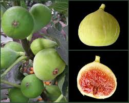 fig fruit trees