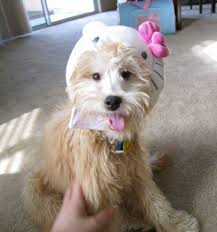 hello kitty for dogs