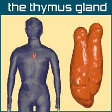 location of thymus gland