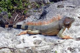tipos de iguanas