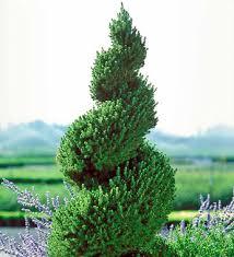 dwarf spruce tree
