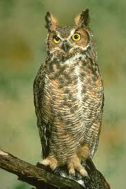 owl heads