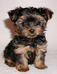 yorkie terrier pictures