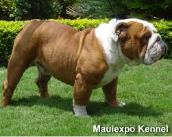 bull dogs pictures