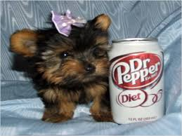 cheap yorkshire terrier
