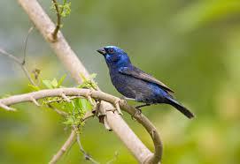 blue buntings