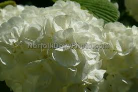 popcorn flowers