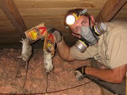 attic rat