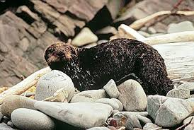 sea otter oil spill