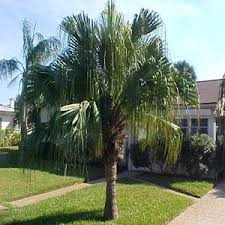 pictures of types of palm trees