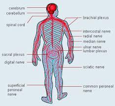 nerve system of human body