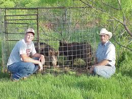baby wild hogs