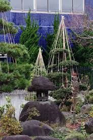 japanese evergreen tree