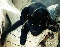 black panther endangered