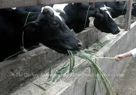 milk cow farm