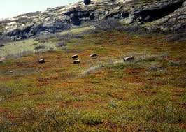 greenland vegetation