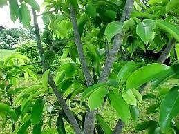 guanabana tree
