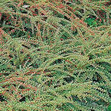 cotoneaster plants