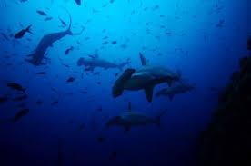 sharks egypt