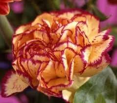 flower carnation
